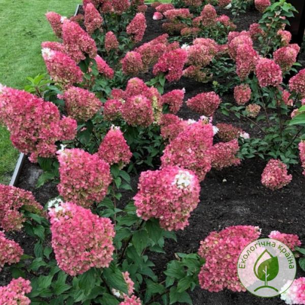 Гортензія Strawberry Blossom 3-річка 0,2-0,4 м - розсадник ЕКО-КРАЇНА