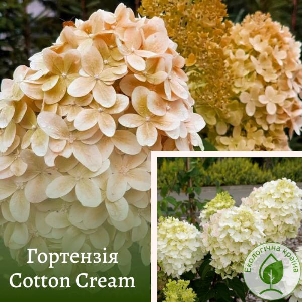 Гортензія Cotton Cream (карликова) - розсадник ЕКО-КРАЇНА