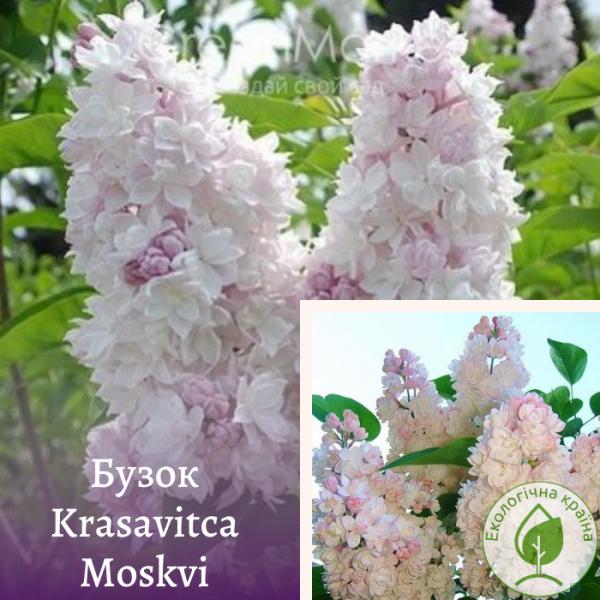 Бузок Krasavitca Moskvi 0,7-1 м - розсадник ЕКО-КРАЇНА