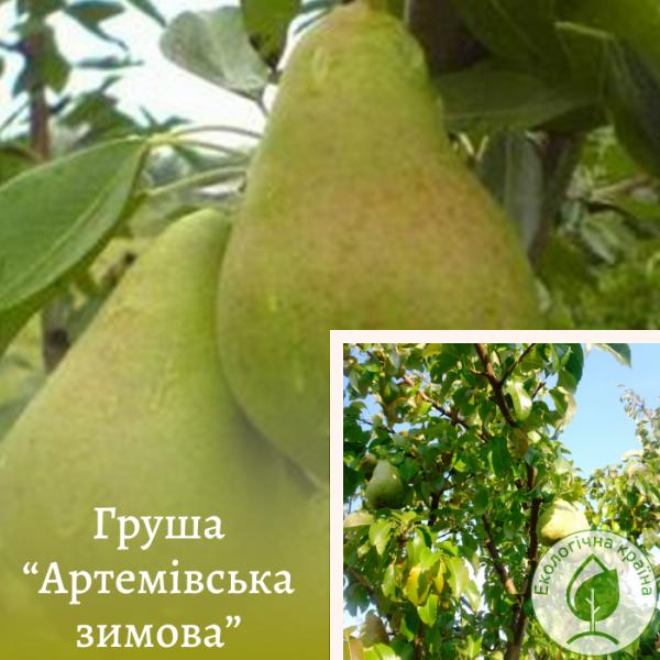 "Груша ""Артемівська зимова"" - розсадник ЕКО-КРАЇНА"