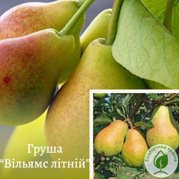 """Груша """"Вільямс літній"""" - розсадник ЕКО-КРАЇНА"""
