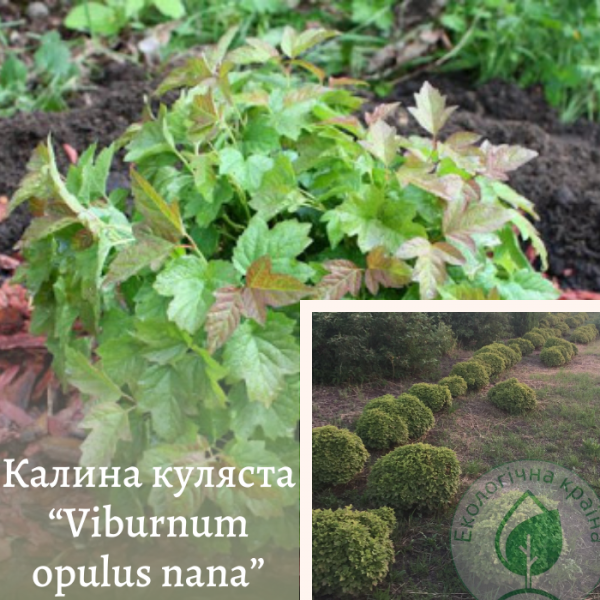 """Калина куляста """"Viburnum opulus nana"""" 0,4-0,5 м - ЕКО-КРАЇНА"""