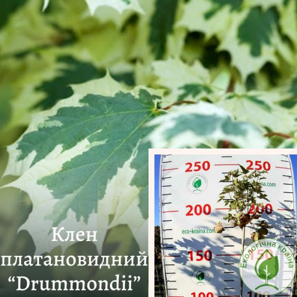 """Клен платановидний """"Drummondii"""""""