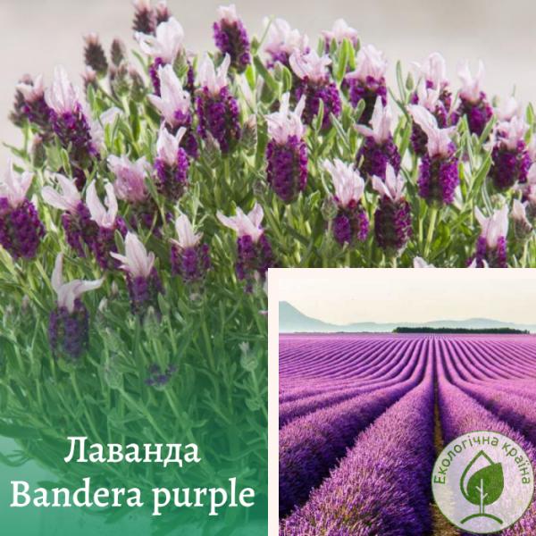 "Лаванда ""Bandera purple"" - інтернет-магазин ЕКО-КРАЇНА"