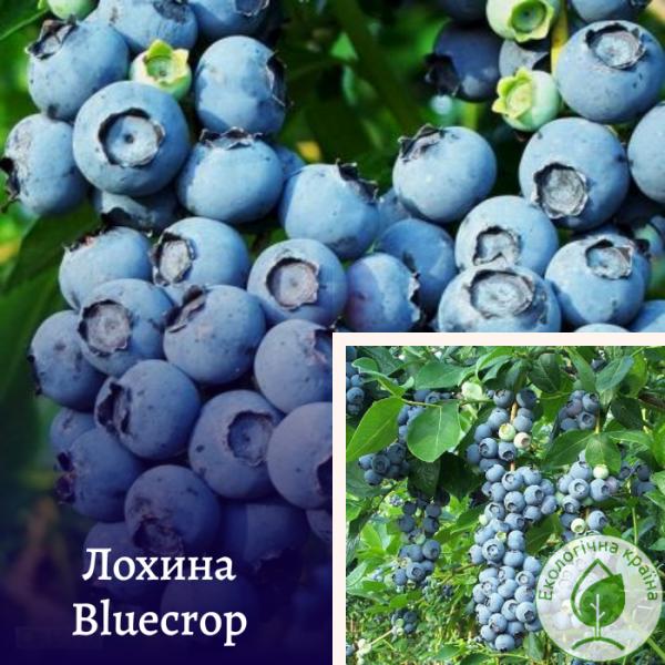 """Лохина (чорниця) """"Bluecrop"""" - розсадник ЕКО-КРАЇНА"""