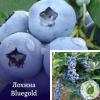 """Лохина (чорниця) """"Bluegold"""" в р9 - розсадник ЕКО-КРАЇНА"""