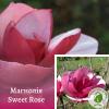 "Магнолія ""Sweet Rose"" - розсадник ЕКО-КРАЇНА"