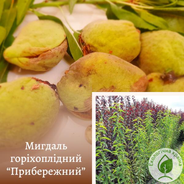 """Мигдаль горіхоплідний """"Прибережний"""" - ЕКО-КРАЇНА"""