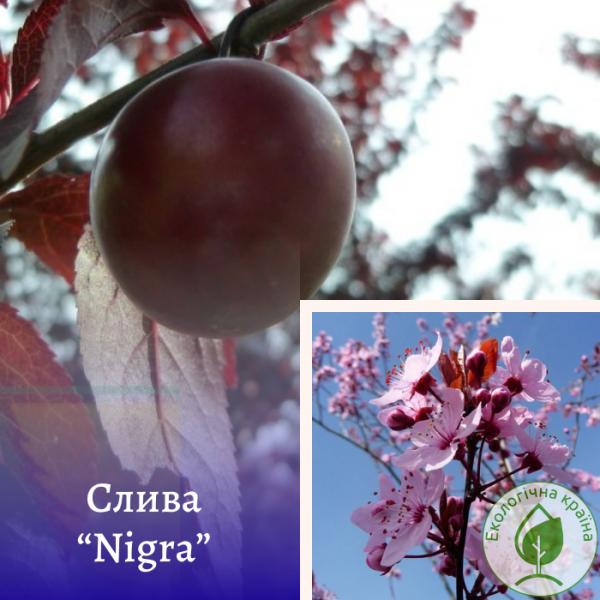 """Слива (Prunus cerasifera) """"Nigra"""" суперкрупномір - Еко-Країна"""