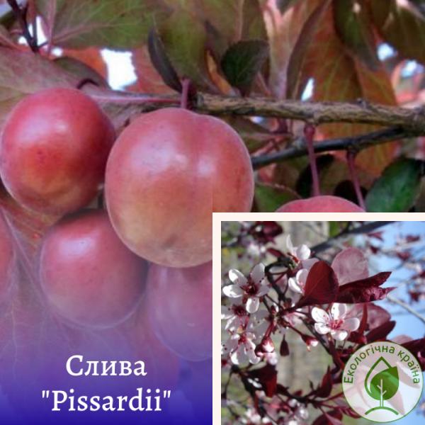 """Слива (Prunus cerasifera) """"Pissardii"""" крупномір - розсадник Еко-Країна"""