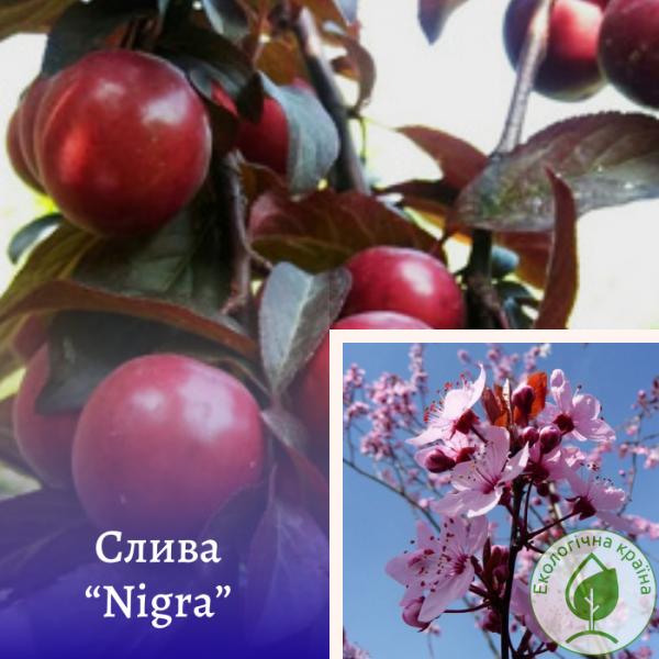 "Слива (Prunus cerasifera) ""Nigra"" штамб (ком) - розсадник Еко-Країна"