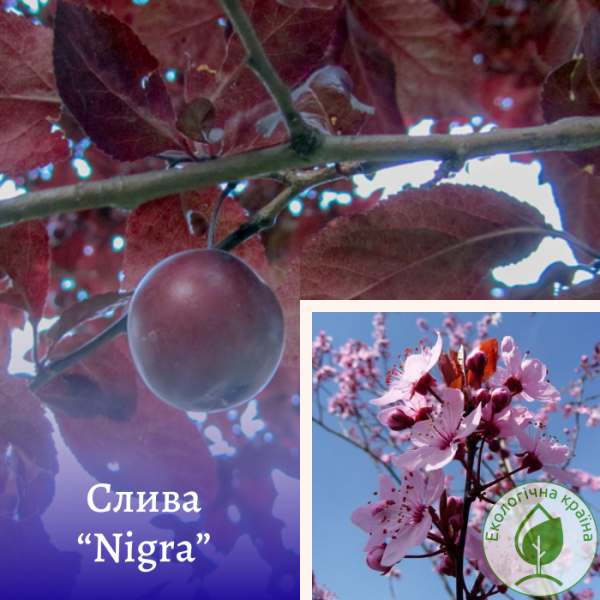 "Слива (Prunus cerasifera) ""Nigra"" штамб 2,2-3 м - розсадник Еко-Країна"