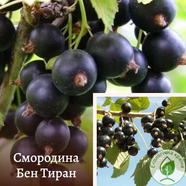 """Смородина чорна """"Бен Тиран"""" - розсадник ЕКО-КРАЇНА"""