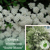 """Спірея ніпонська """"Snow Moon"""" (ком) - ЕКО-КРАЇНА"""