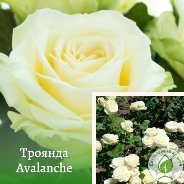 Троянда Avalanche (Аваланш) - розсадник ЕКО-КРАЇНА