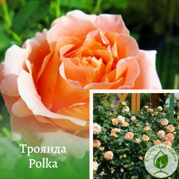 Троянда Polka (Полька) - розсадник ЕКО-КРАЇНА