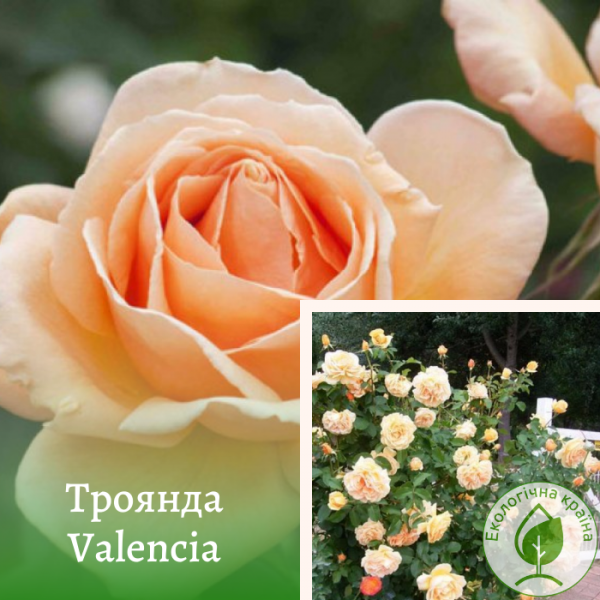 Троянда Valencia (Валенсия) - розсадник ЕКО-КРАЇНА