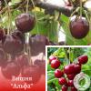"""Вишня """"Альфа"""" - розсадник і садовий центр ЕКО-КРАЇНА"""