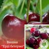 """Вишня """"Ерді бетермо"""" - розсадник і садовий центр ЕКО-КРАЇНА"""