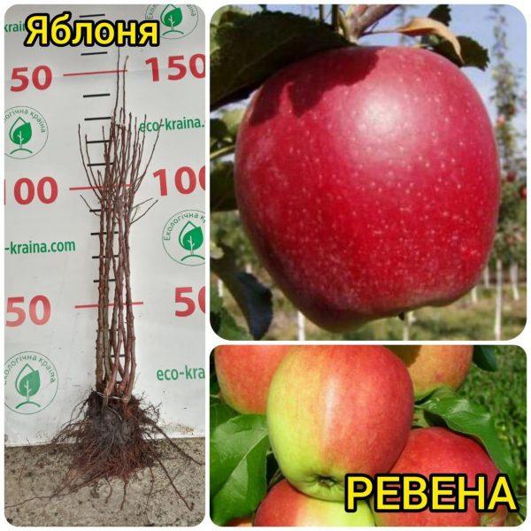 "Яблуня ""Ревена"" - інтернет-магазин ЕКО-КРАЇНА"