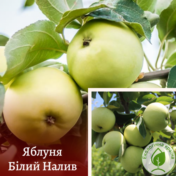 """Яблуня """"Білий налив"""" - інтернет-магазин ЕКО-КРАЇНА"""