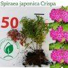 """Спірея японська """"Crispa"""" 0,3-0,4 м - інтернет-магазин ЕКО-КРАЇНА"""
