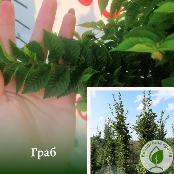Граб 3-4 м - розсадник і садовий центр ЕКО-КРАЇНА