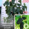 Шовковиця тортуоза на штамбі - садовий центр ЕКО-КРАЇНА