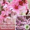 """Сакура (prunus persica) """"Bonfire Peach"""" 1,5-1,7 м - ЕКО-КРАЇНА"""