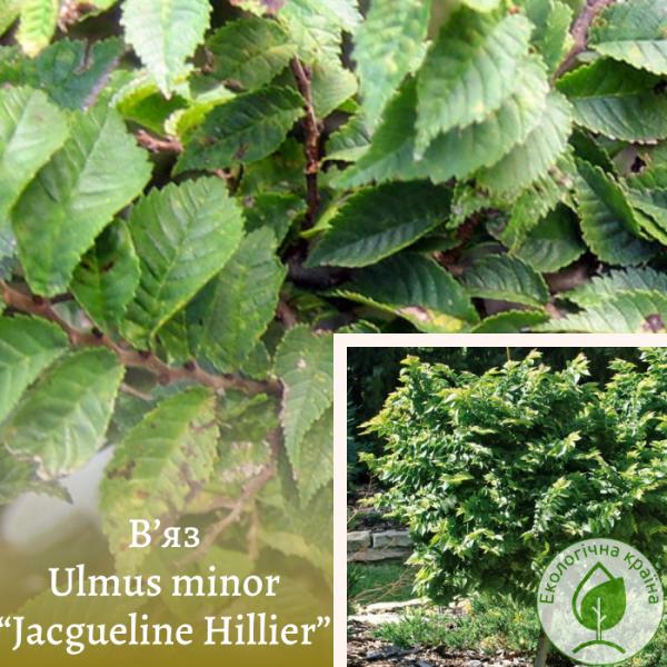 """В'яз Ulmus minor """"Jacgueline Hillier"""" 1,3-1,6 м"""