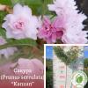 "Сакура (Prunus serrulata) ""Kanzan"" 1,7-2 м"