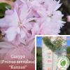 "Сакура (Prunus serrulata) ""Kanzan"" 2-2,5 м - розсадник ЕКО-КРАЇНА"