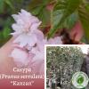 "Сакура (Prunus serrulata) ""Kanzan"" 3-4 м"