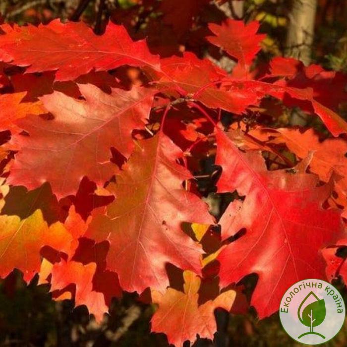 "Дуб червоний ""Quercus Rubra"" - розсадник ЕКО-КРАЇНА"