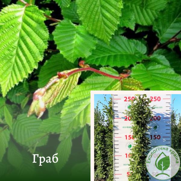 Граб 1,8 м (штамб) - розсадник і садовий центр ЕКО-КРАЇНА