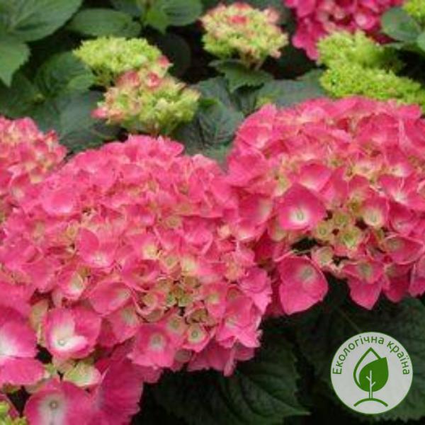 Гортензія Flame Hot Pink - розсадник ЕКО-КРАЇНА