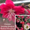 "Сакура (prunus persica) ""Melred Weeping"" 1,8-2 м"