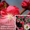 "Сакура (prunus persica) ""Melred Weeping"" 2-2,5 м - ЕКО-КРАЇНА"