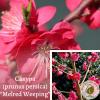 """Сакура (prunus persica) """"Melred Weeping"""" суперкрупномір - ЕКО-КРАЇНА"""