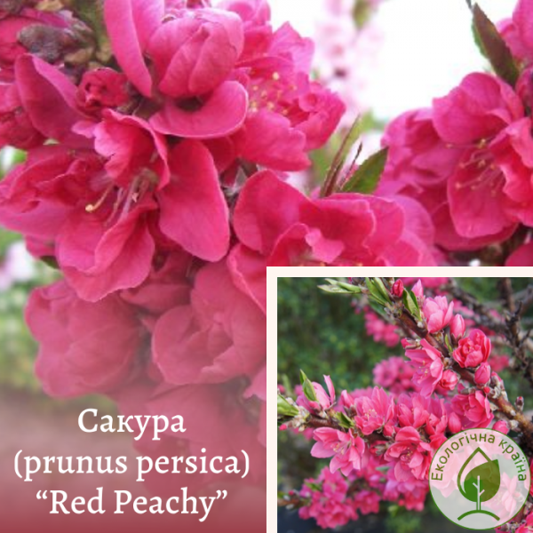 "Сакура (prunus persica) ""Red Peachy"" 1,5-2 м"