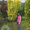 """В'яз голандський """"Wredei"""" 1,2-1,5 м - садовий центр ЕКО-КРАЇНА"""