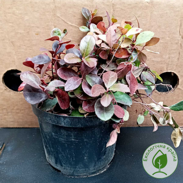 Гаультерія (Gaultheria procumbens) - інтернет-магазин ЕКО-КРАЇНА