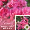 """Сакура (prunus persica) """"Red Peachy"""" 2-3 м - розсадник ЕКО-КРАЇНА"""