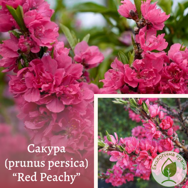 "Сакура (prunus persica) ""Red Peachy"" (штамб)"