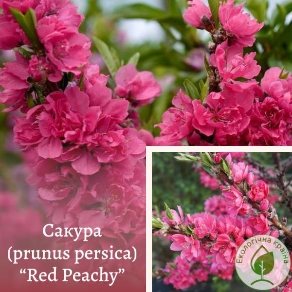 "Сакура (prunus persica) ""Red Peachy"" (штамб)"