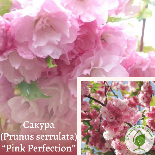 "Сакура (Prunus serrulata) ""Pink Perfection"" 1,3-1,5 м - ЕКО-КРАЇНА"