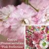 "Сакура (Prunus serrulata) ""Pink Perfection"" 1,5-2 м - ЕКО-КРАЇНА"
