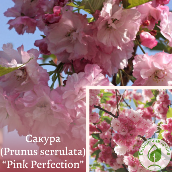 "Сакура (Prunus serrulata) ""Pink Perfection"" 2-3 м - ЕКО-КРАЇНА"