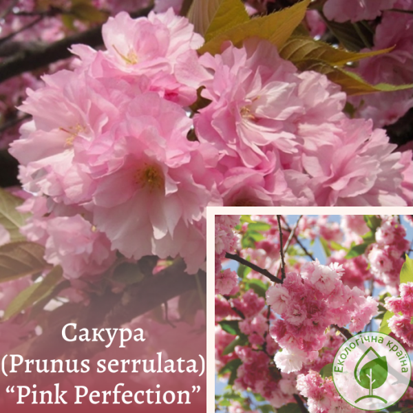 "Сакура (Prunus serrulata) ""Pink Perfection"" 3-4 м - ЕКО-КРАЇНА"
