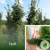 Граб 4-5 м - розсадник і садовий центр ЕКО-КРАЇНА